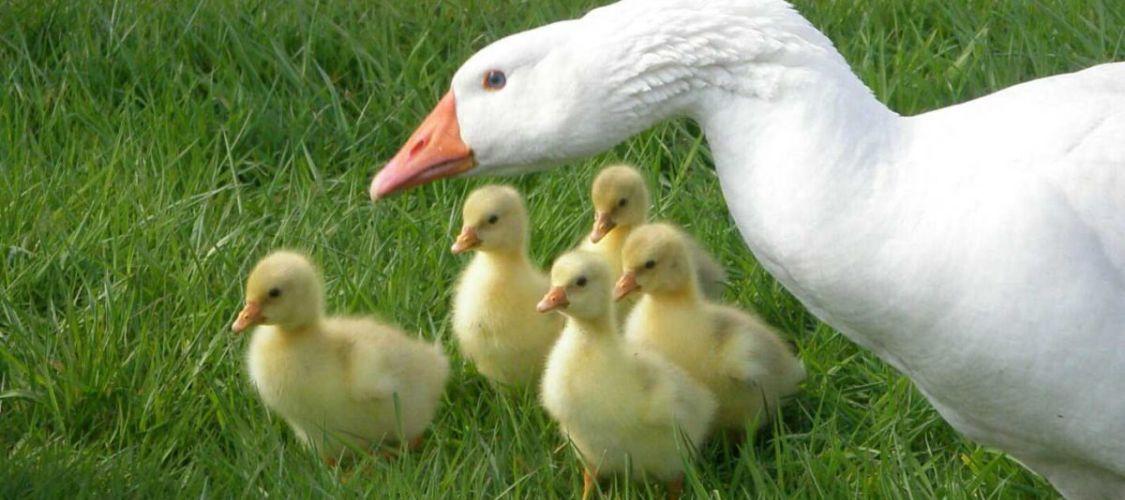 buy online 8f7f8 52e09 Hühner und Gänse - Privatgarten Wagenhuber Versmold